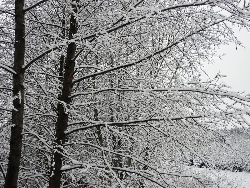 Beautiful snowy tree branches, Lithuania royalty free stock images
