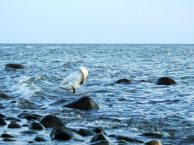Beautiful swan in Baltic sea, Lithuania stock images