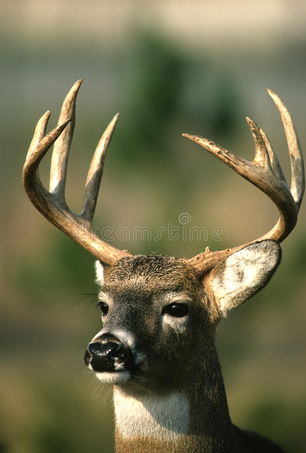 Download Nice Whitetail Buck Portrait Stock Photo - Image: 9847080