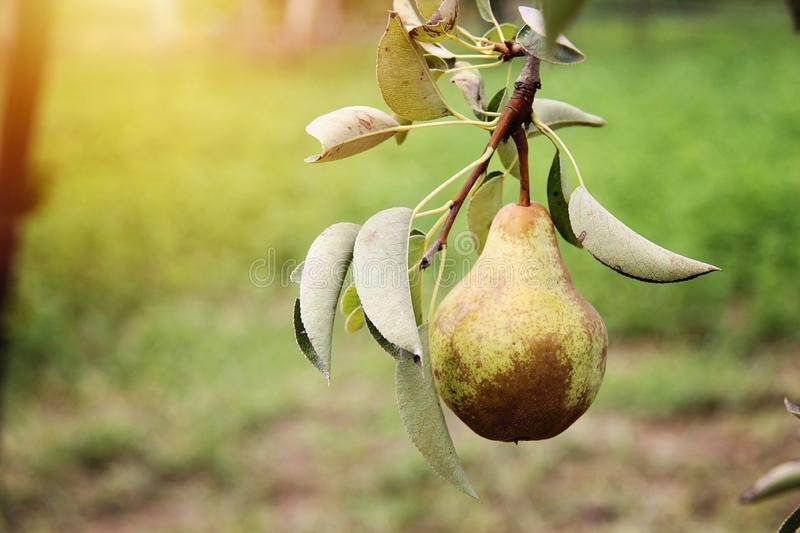 William pear on tree branch royalty free stock images