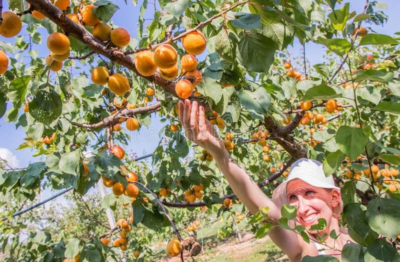 Nice woman picking apricots lit by warm summer light stock photography