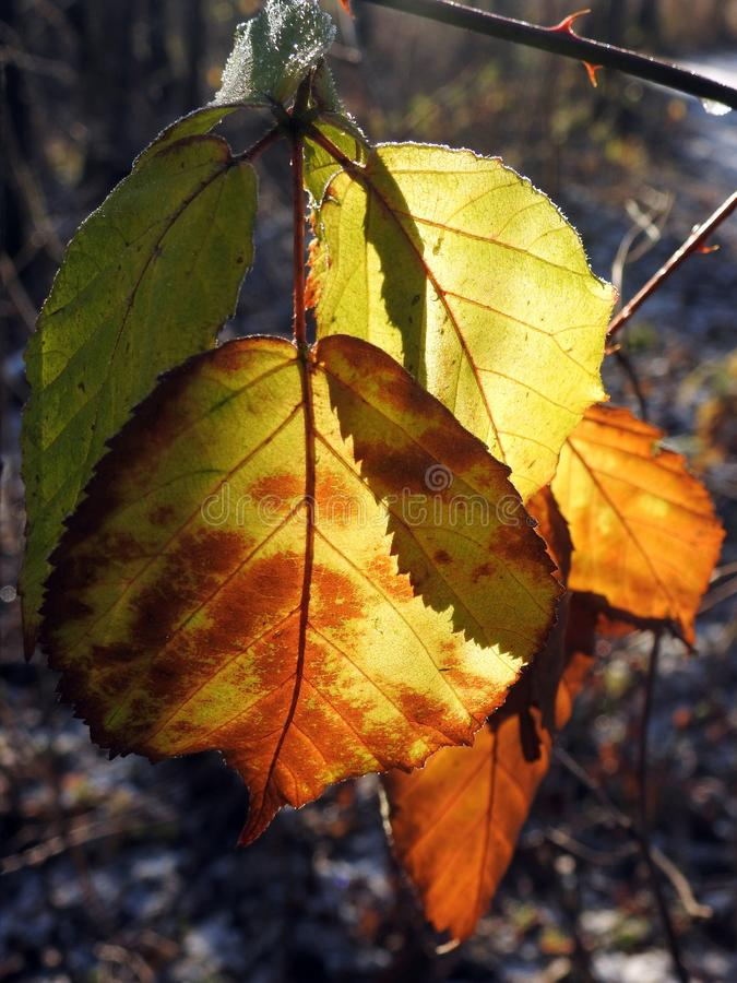 Beautiful yellow autumn tree leaf, Lithuania royalty free stock images