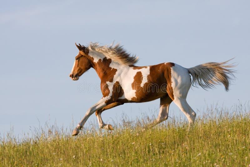 Nice young appaloosa horse running royalty free stock photos