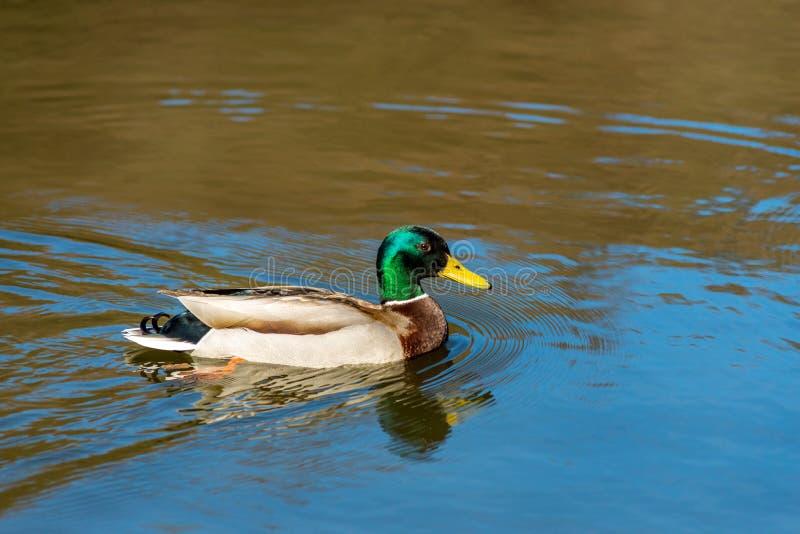 Nice young Mallard duck swiming on lake early spring stock image