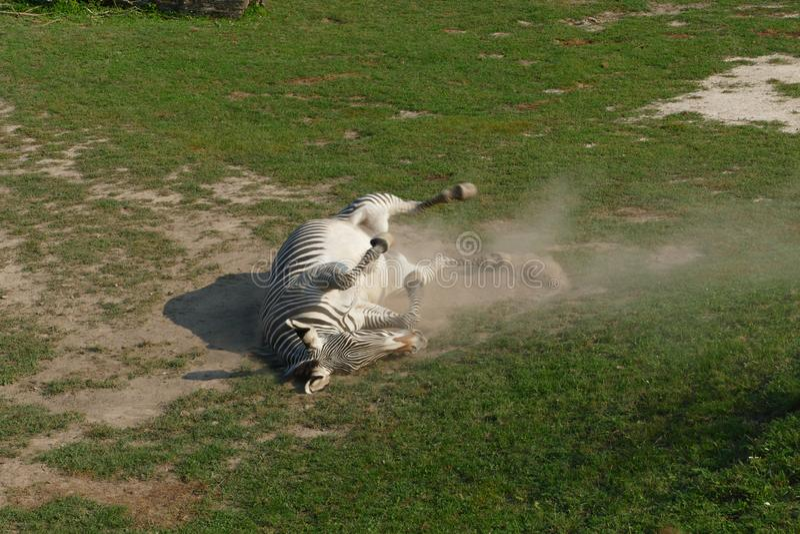 Zebra rolling in dust royalty free stock photo