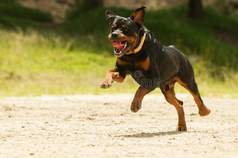 Nicht angeleint Rottweiler-Hund stockbilder