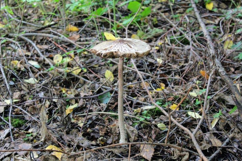 Nicht essbarer Pilz nannte Giftpilz, oder zerstörender Engel wächst aus den Grund unter dem niedrigen Gras lizenzfreies stockbild