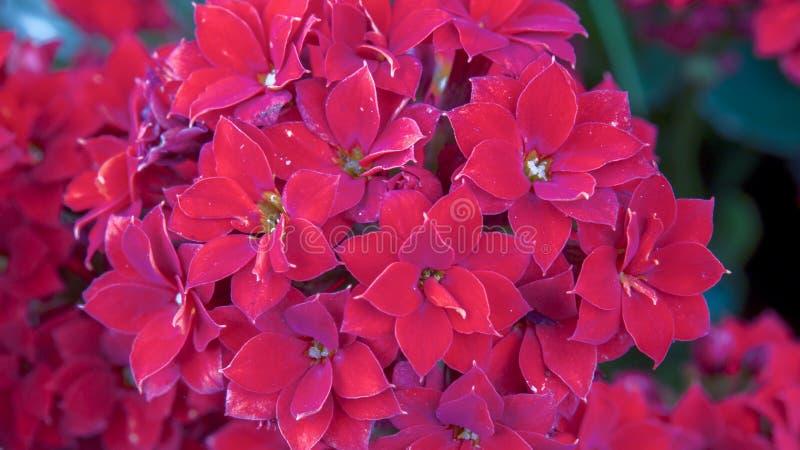 Nicht identifizierte intensive rote kleine Blumen stockbilder