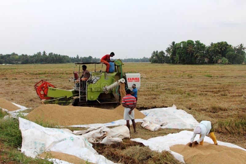 Nicht identifizierte Landwirte erledigen die Arbeiten nach der Ernte auf ihren Reisgebieten lizenzfreie stockfotos