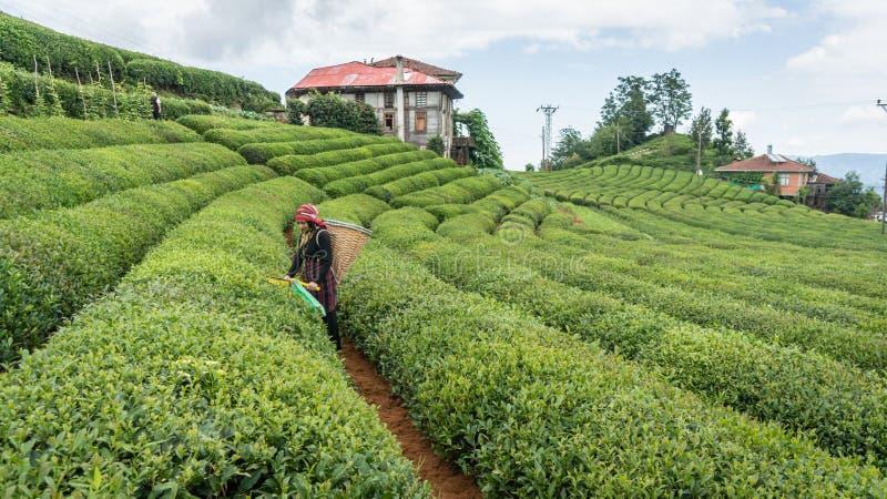 Nicht identifizierter Teegarten Rize die Türkei Ost-Schwarzes Meer des jungen Mädchens des Teepflückers lizenzfreie stockfotos