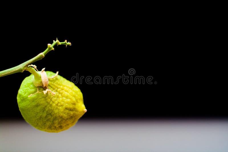 Nicht reife Fruchtzitrone auf einer Niederlassung auf einem schwarzen Hintergrund lizenzfreies stockbild