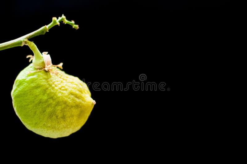 Nicht reife Fruchtzitrone auf einer Niederlassung auf einem schwarzen Hintergrund stockfotos