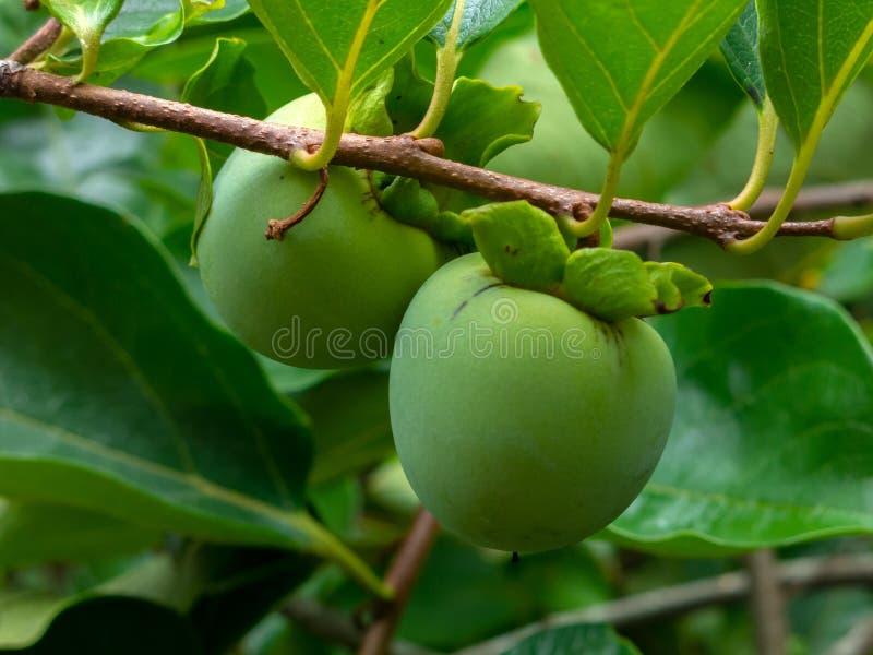 Nicht reife grüne Kaki Khaki, Persimonefrüchte auf Baum lizenzfreies stockfoto