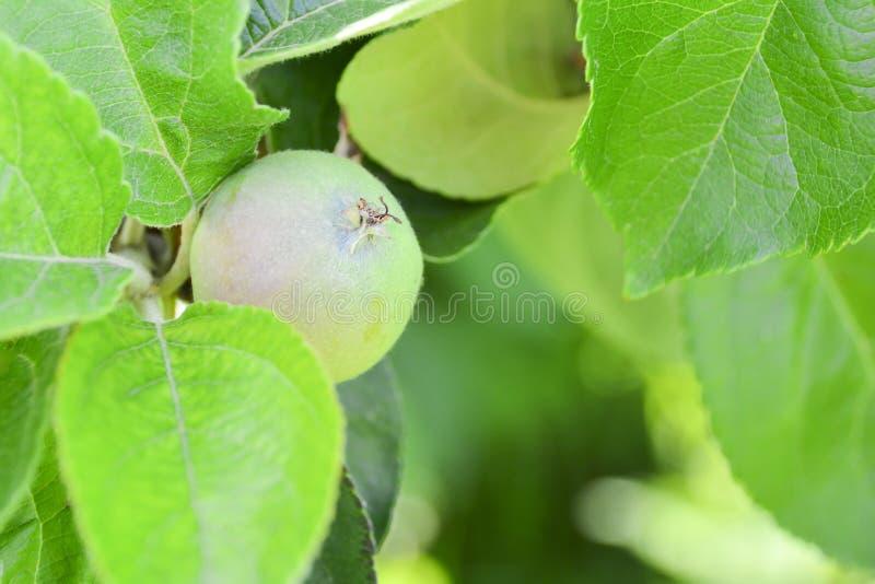 Nicht reife gr?ne ?pfel auf dem Baum Apple-Baumast mit Fr?chten Neue Früchte sind nicht auf einer Niederlassungsnahaufnahme auf d stockbilder