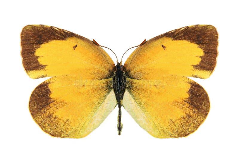 Nicippe de Eurema de la mariposa (femenino) fotografía de archivo libre de regalías