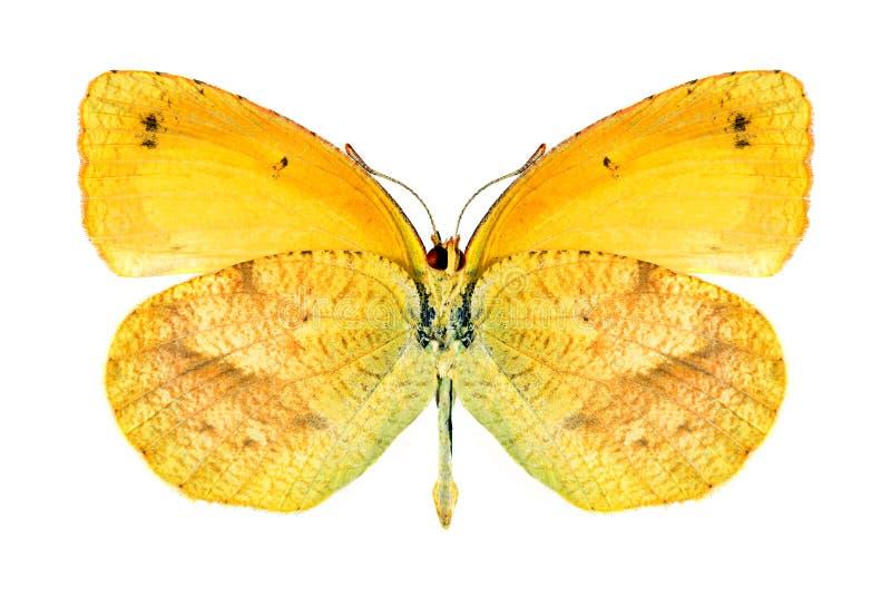 Nicippe de Eurema de la mariposa (femenino) (superficie inferior) imágenes de archivo libres de regalías