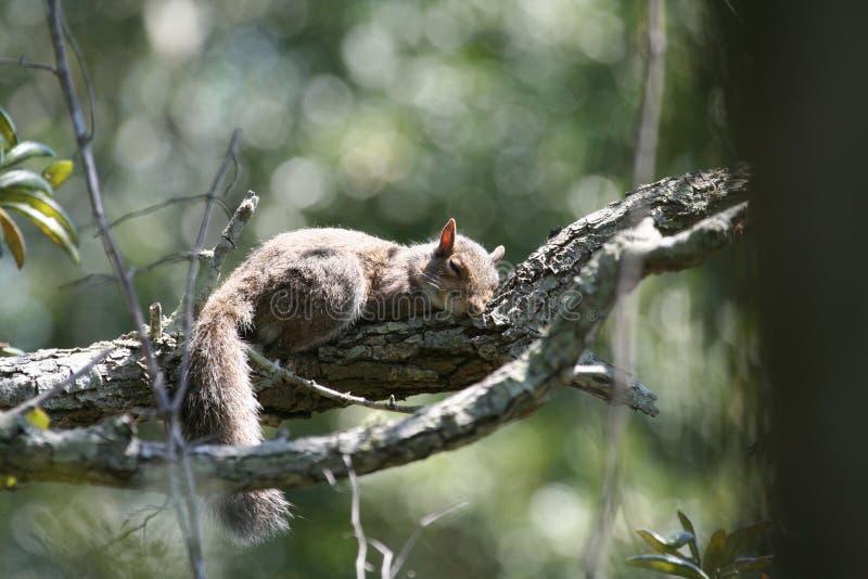 Nickerchen machendes Eichhörnchen stockfotografie