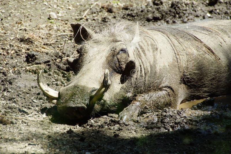 Nickerchen machendes Warzenschwein lizenzfreie stockfotos
