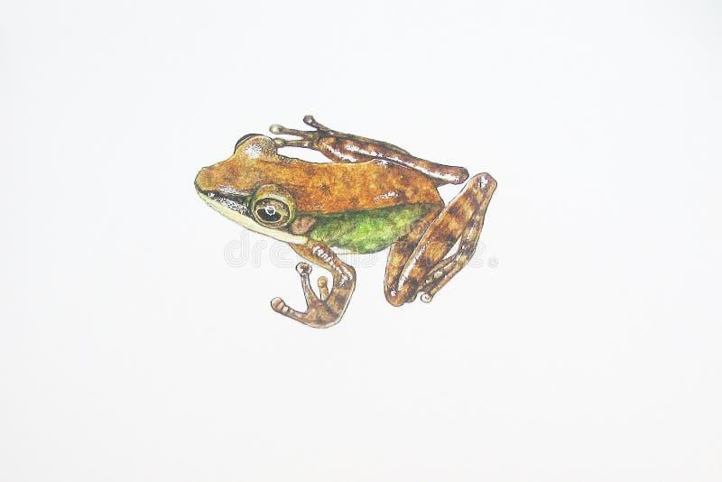 Nicobar Cricket Frog stock photos