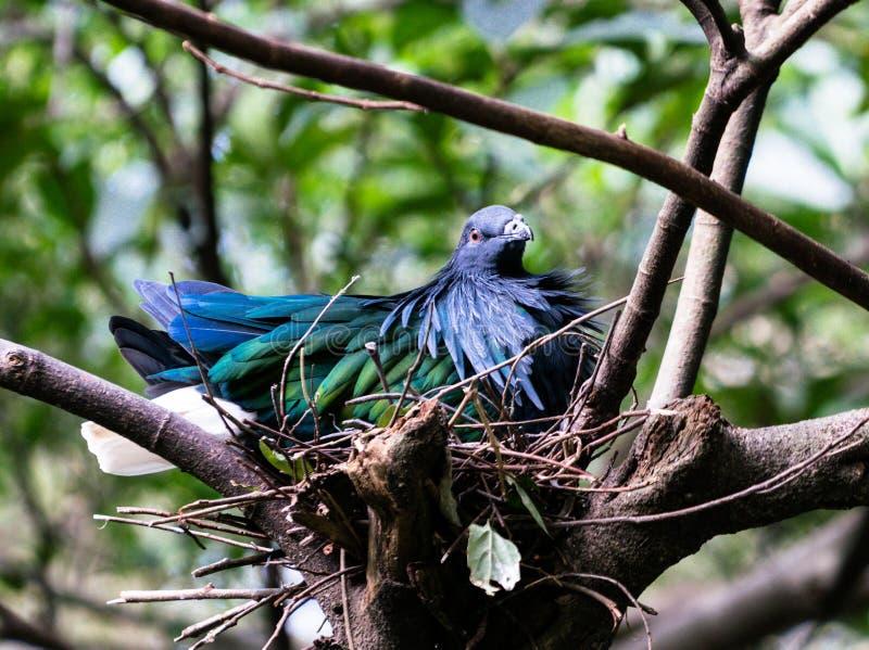 Nicobar gołębi ptak w gniazdeczku obrazy stock