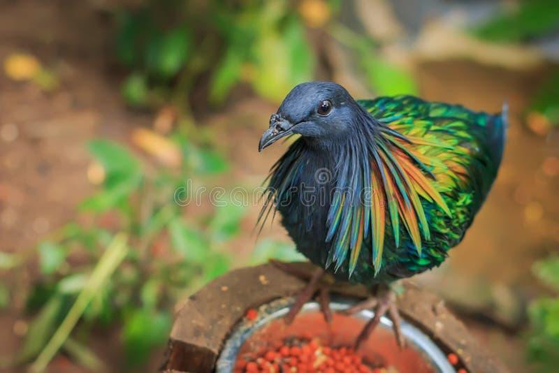 Nicobar pigeon (Caloenas nicobarica) single stock photos