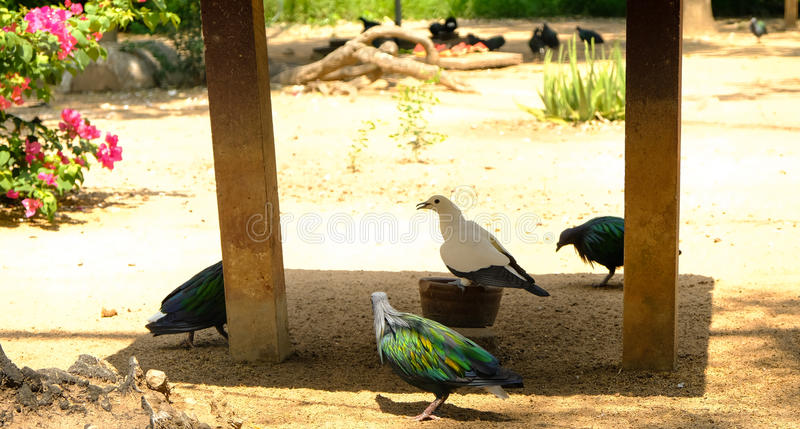 Nicobar pigeon standing on soil ground with a lot of birds stock photo