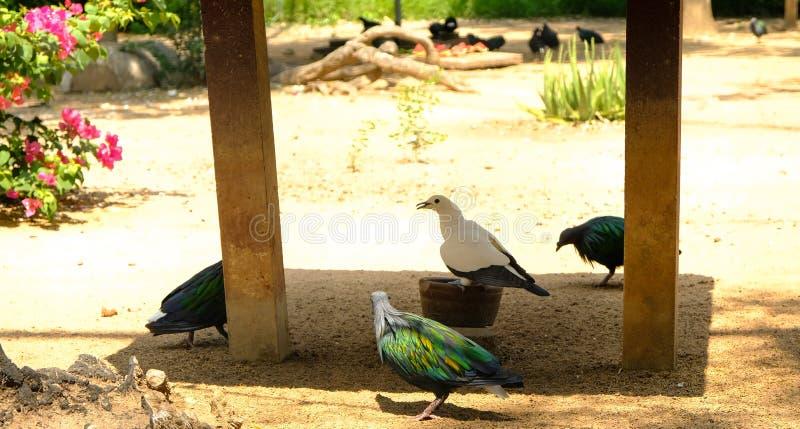 Nicobarduif die zich op grondgrond bevinden met heel wat vogels stock foto
