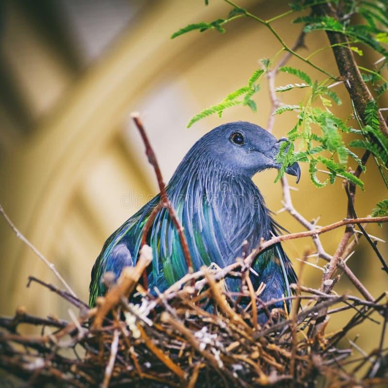 Nicobarica de Caloenas do pombo de Nicobar fotos de stock