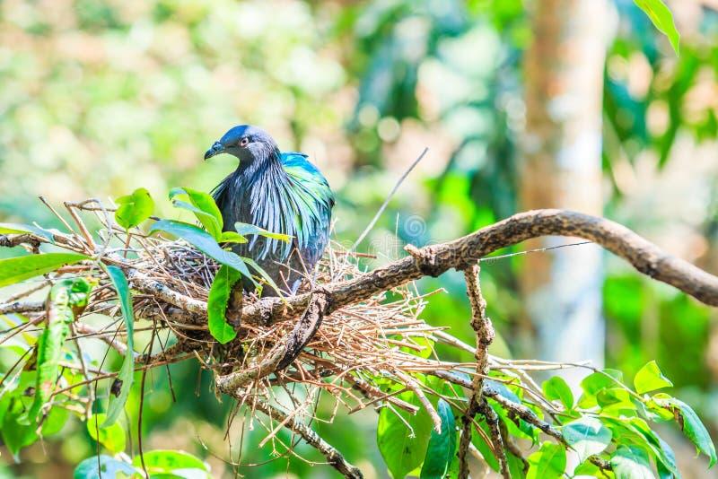 Nicobarica do pombo ou do Caloenas de Nicobar imagens de stock