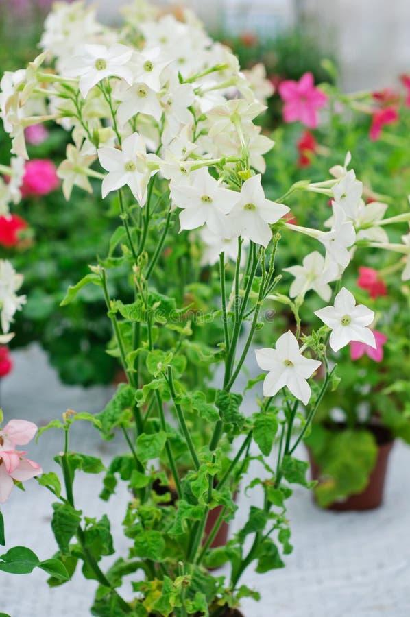 Nicotiana alata Avalon White. White cultivar of Nicotiana alata stock photography