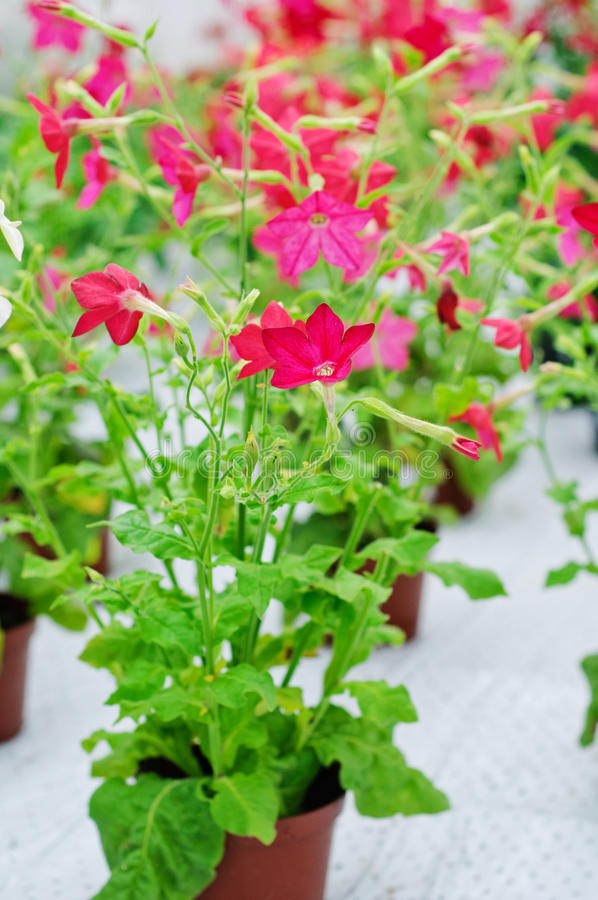 Nicotiana alata Domino Red. Special cultivar of Nicotiana alata with red flowers royalty free stock images
