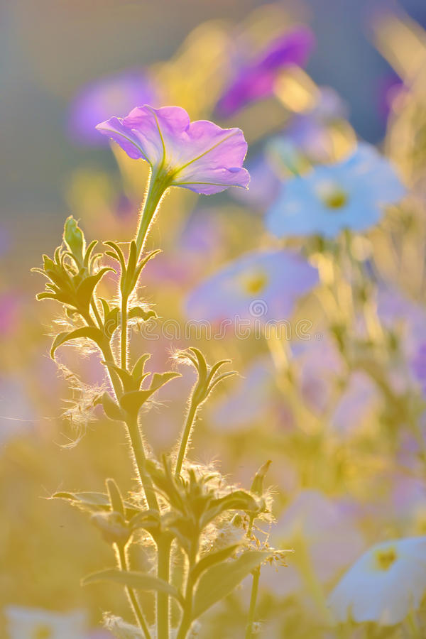 Nicotiana alata. Ornamental tobacco pink flowers lighted by rays of sun royalty free stock image