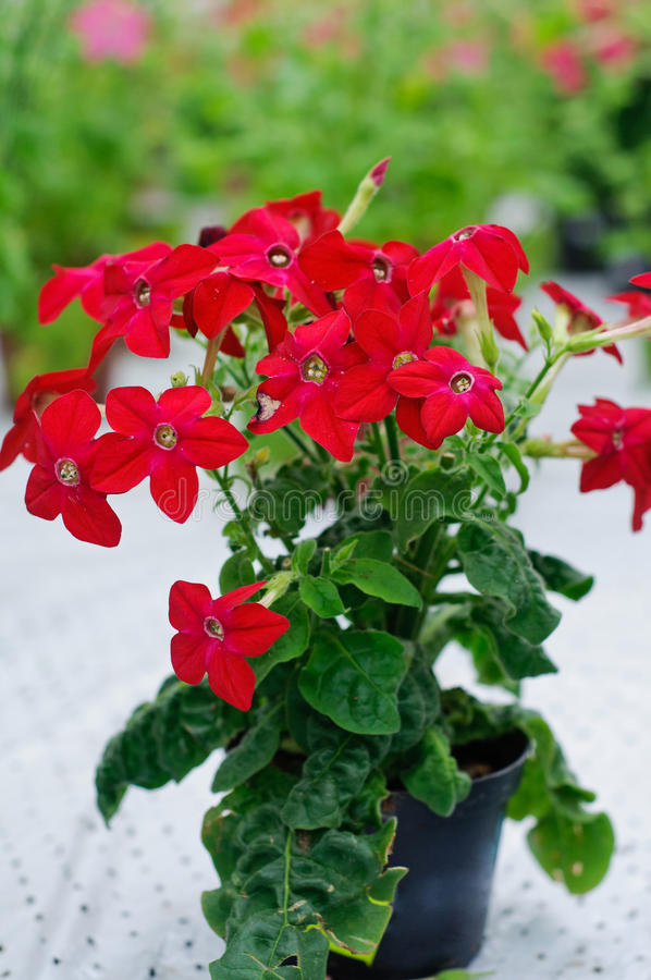 Nicotiana alata Saratoga Red. Special cultivar of Nicotiana alata in a pot royalty free stock photos