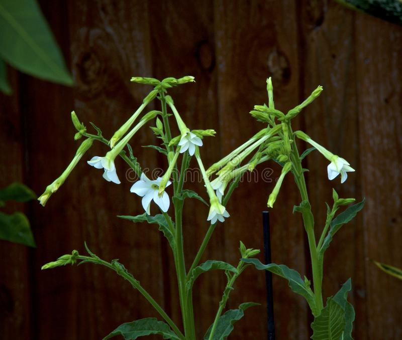 Nicotiana alata tobacco plant flower stalks. White trumpet like flowers of the aztec tobacco plant, nicotiana alata in bloom, also known as jasmine, Persian and stock photo