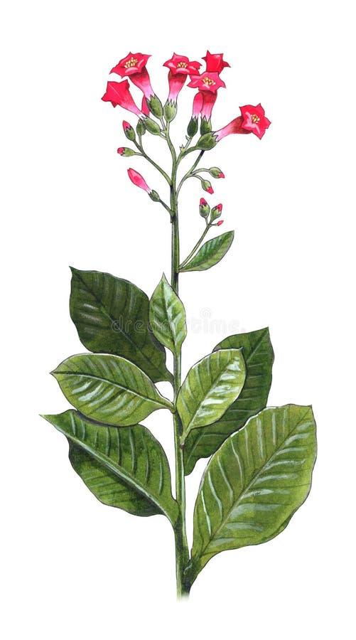 nicotianatabacum royaltyfri illustrationer