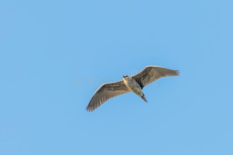Nicticora incoronata nera in nycticorax nycticorax del cielo blu di lotta fotografie stock libere da diritti