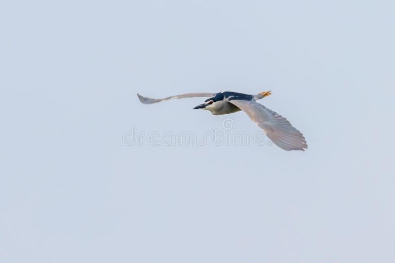 Nicticora incoronata nera in nycticorax nycticorax del cielo blu di lotta immagine stock libera da diritti