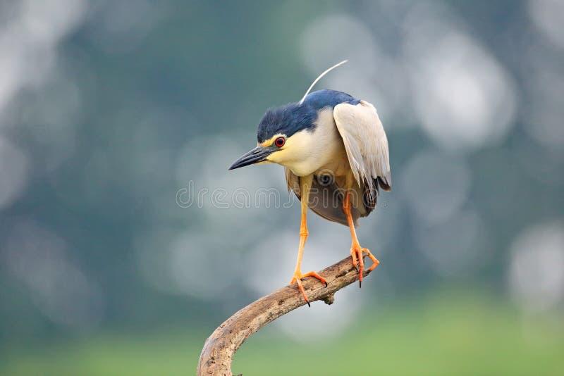 Nicticora, nycticorax nycticorax, uccello acquatico grigio che si siede nell'acqua, Ungheria Scena della fauna selvatica dalla na fotografia stock libera da diritti