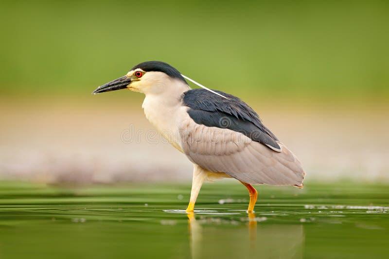 Nicticora, nycticorax nycticorax, uccello acquatico grigio che si siede nell'acqua, Ungheria Scena della fauna selvatica dalla na immagine stock