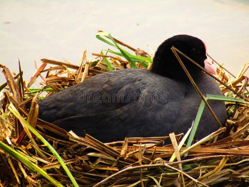 Nid avec l'oiseau de mère image stock