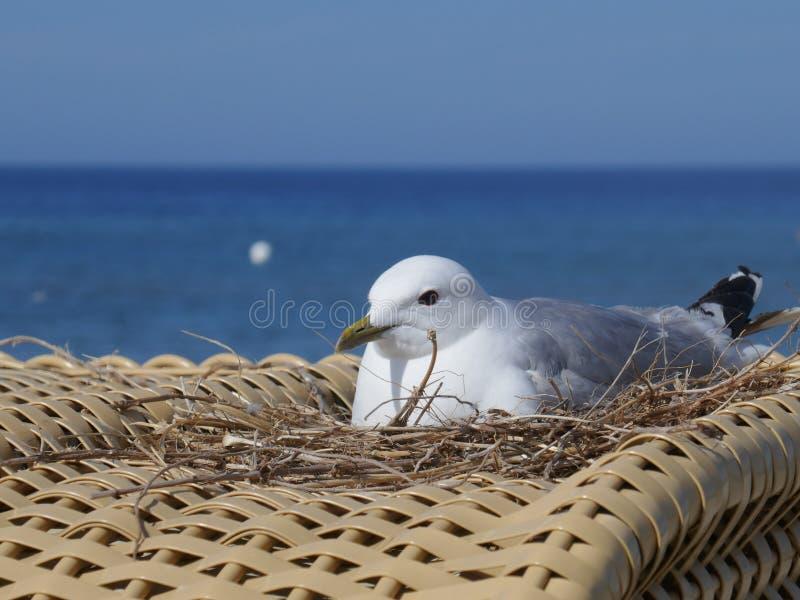 Nid avec la mouette d'élevage sur une chaise de plage au brin de Sehlendorfer, Hohwachter Bucht photographie stock