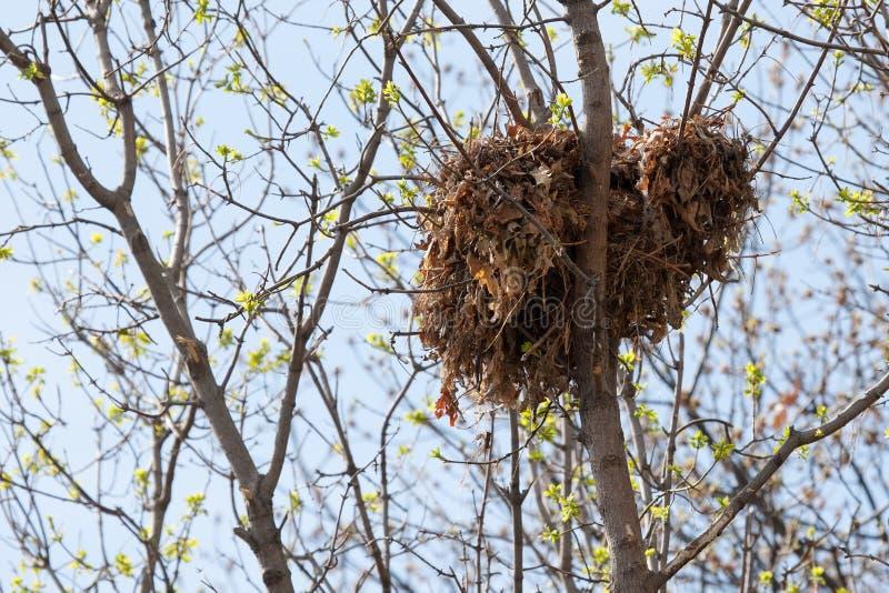 Nid d'écureuil d'arbre haut dans un arbre photo libre de droits