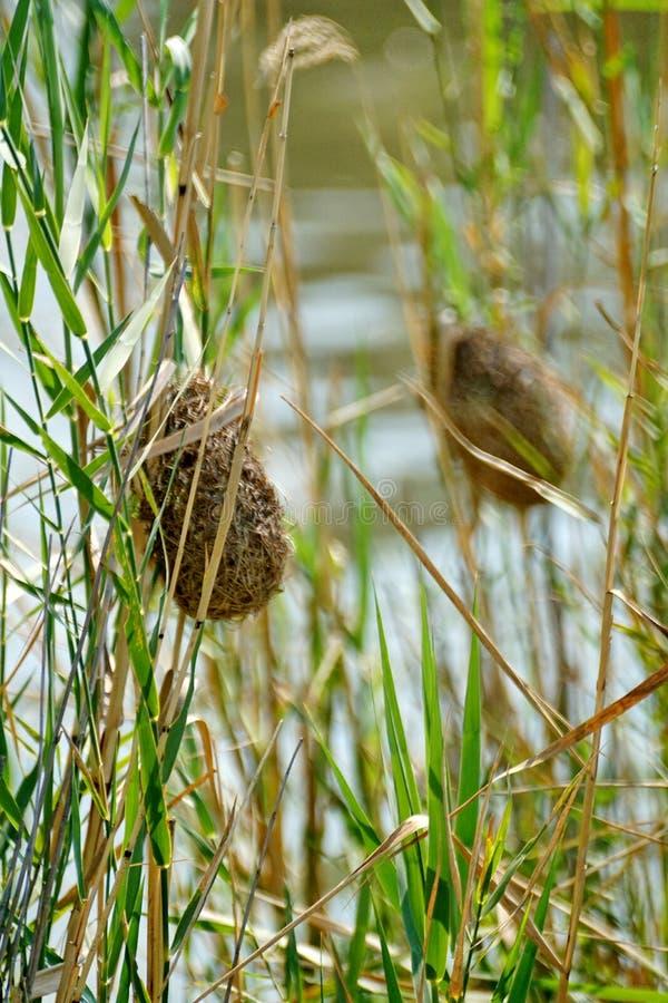 Nid d'oiseau de tisserand dans les roseaux images stock