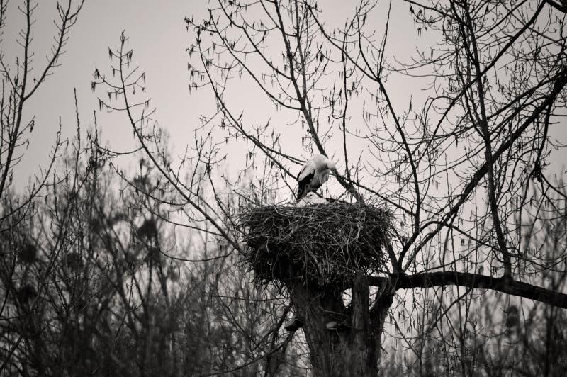 Nid de cigognes sur le dessus d'arbre photos stock