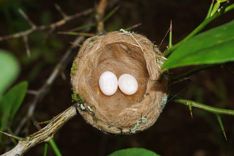 Nid de colibri avec deux oeufs photos libres de droits