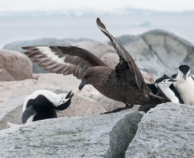 Nid de défense de pingouin adulte de jugulaire de stercoraire adulte de Brown, île utile, péninsule antarctique photographie stock libre de droits