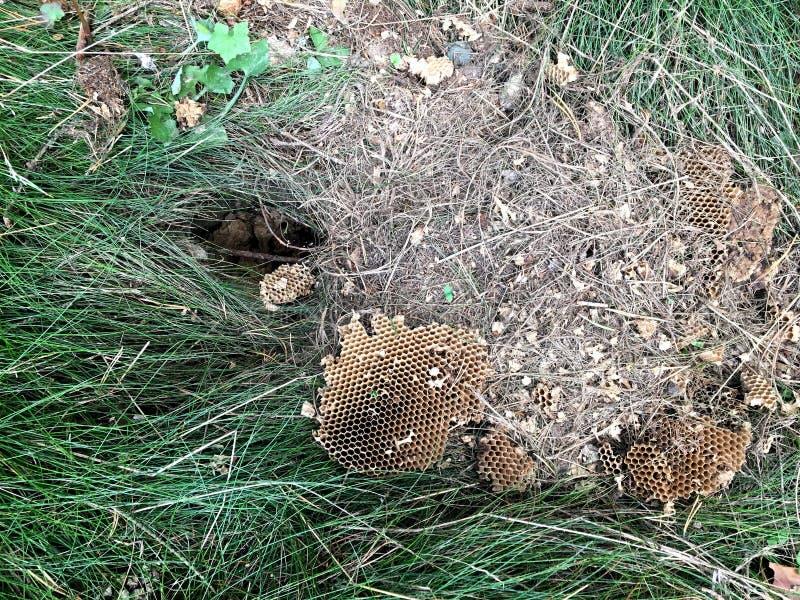 Nid des abeilles et du nid d'abeilles sauvages photographie stock libre de droits
