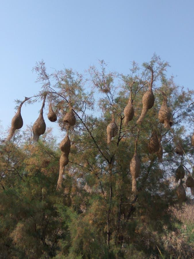 Nidi dei passeri sull'albero immagine stock libera da diritti
