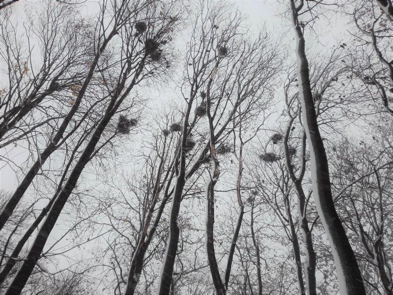 Nidi del corvo sugli alti rami degli alberi fotografie stock