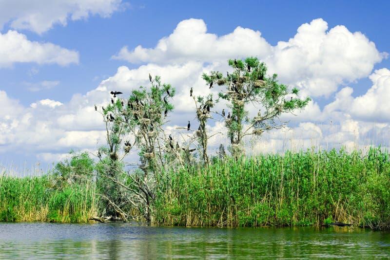Nidi di Cormorant in alberi nel delta di Danubio immagine stock